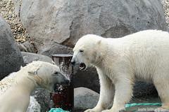 Ijsberen, Wildlands-7537 (Josette Veltman) Tags: zoo arctic ijsbeer icebear emmen dierentuin icebears noordpool roofdier wildlands ijsberen