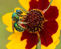 Metallic Green Bee on Coreopsis (stephaniepluscht) Tags: green mobile gardens creek botanical metallic alabama entrance bee sweat mile twelve coreopsis 2016 twelvemile