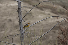 """Bullock's Oriole • <a style=""""font-size:0.8em;"""" href=""""http://www.flickr.com/photos/63501323@N07/27387051882/"""" target=""""_blank"""">View on Flickr</a>"""