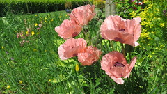 Poppies (Katie_Russell) Tags: pink flowers ireland flower green petals petal poppy poppies northernireland ni ulster nireland norniron coleraine countylondonderry countyderry coderry colondonderry colderry countylderry