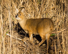 CHINESE WATER DEER? (jdoakey) Tags: uk trees england brown detail tree reed water beautiful grass animal closeup reeds pretty day branch close eyelashes feeding britain eating gorgeous branches sony great norfolk chinese deer stunning norwich land trunk fields british marsh lovely alpha dslr fen animalplanet oakley bullrushes reedbed bullrush strumpshaw a55 chinesewaterdeer strumpshawfen flickraward dslt flickraward sonya55 theinspirationgroup