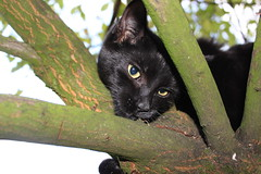 Indie Peek a Boo...I can see you (Highpeak Photos) Tags: uk trees england cats black tree animal animals cat blackcat photo eyes feline flickr moments photos britain derbyshire jimmy pussy kitty kittens photographs photograph indie planet pussycat animalplanet glossop blackcats pussies highpeak catseyes kittycat jetblack pussycats blackkitty blackkitten blackpussycat blackkittens catmoments jetblackcat indieandjimmy jetblackkitten jetblackcats blackpussycats