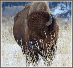 this is BULL (laura's POV) Tags: animal buffalo wildlife bull jackson wyoming jacksonhole grandtetonnationalpark lauraspointofview lauraspov