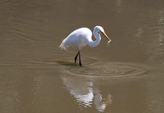 Great Egret 04/12/11 (ozoutback1) Tags: nature birds canon eos great reserve australia wetlands 5d canberra egret act mkii jerrabomberra