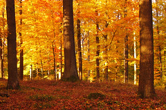 Autumn Beech (Batikart) Tags: park autumn light orange brown sun black color colour tree fall nature leaves yellow fauna forest canon germany season lan