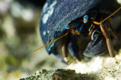 Eyestalks (ashergrey) Tags: macro water canon aquarium marine critter salt shell crab 100mm claw creature f28 ef invertebrate nonl