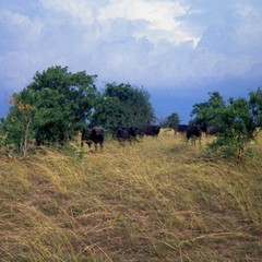 A herd of African Buffalo, also known as the Cape Buffalo. They don't appear to appreciate our presence.