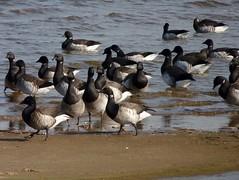 Brant at Morgan Ave Mudflats (Dendroica cerulea) Tags: bird beach birds newjersey nj aves goose brant anatidae anseriformes southamboy brantabernicla raritanbay middlesexcounty anserinae morganavenuemudflats