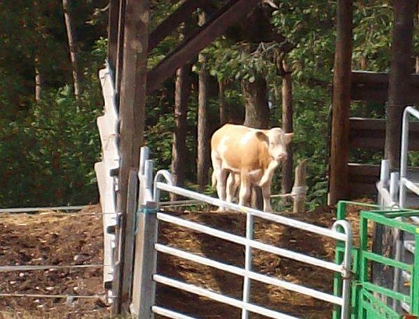 Kuh auf der Weide