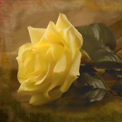 yellow rose (peterz-i) Tags: art texture rose yellow digital remember memory layer