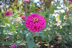 iek (laedri52) Tags: flower malta pinkflower valetta iek pembe
