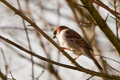 Sparrow (Tony Emmett) Tags: france bird nature birds garden wildlife sony sigma alpha birdwatcher beautifulbird a700 sonyalpha beautifulwings lamothestheray sonyalpha700 minoltaamount sigma150500mmf563dgoshsm