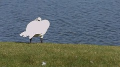 What?! [video] (Demmer S) Tags: summer white motion bird nature water movie flow moving video swan movement wildlife shoreline move minimal simplicity summertime hd flowing minimalism simple 169 minimalistic quicktime mov 720p 1280x720