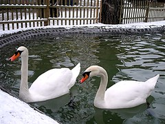 purest form of love... on explore (NURAY YUZBASI) Tags: snow pool turkey swan explore lover ankara kar havuz sevgili kuu swanpark kuulupark aknsafhali winter2011 purestformoflove firstsnowinankara