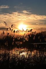 reeds at sunset (jx17) Tags: sunset sky sun reeds