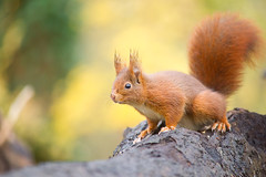 Un cureuil  sur un tronc, Red Squirrel (Zed The Dragon) Tags: wild french geotagged effects photography soleil photo squirrel squirrels flickr view minolta photos sony images best apo full fave most frame getty faves 100 fullframe alpha antony animaux foret parc postproduction franais sal zed gettyimages francais sceaux lightroom f40 cureuil sauvage effets 200mm ecureuil parcdesceaux favoris 24x36 100faves a850 0008sec iso2000 specanimal sonyalpha hpexif 100comment minoltaapo 80200apog parcsceaux dslra850 alpha850 zedthedragon ringexcellence 100coms
