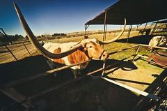 Longhorn (Will Folsom) Tags: ranch west cow long texas cattle horns 8 bull dude fisheye western pro longhorn horn 35 8mm optic rokinon