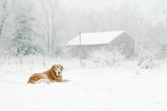Adding to the Landscape (TammyTalking) Tags: winter dog pet snow nature beauty animal barn goldenretriever golden sadie explore snowing snowfall frontyard snowglobe winterwonderland explored thelittledoglaughed flockedtrees flockedweeds