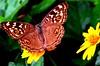 Happy Butterfly (ఆనంద సీతాకోకచిలుక) (S. Bhaskara Rao India) Tags: niceshot earthasia beautifulmonsters mygearandme