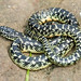 Young Speckled Kingsnake