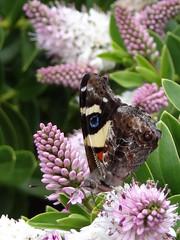 Yellow Admiral butterfly 1 (Home Land & Sea) Tags: newzealand butterfly native nz sonycybershot hawkesbay hebe taradale yellowadmiral kahukowhai homelandsea dolbelreserve dschx100v
