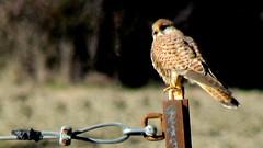 Gheppio da guardia (Michele -) Tags: birds bentivoglio larizza