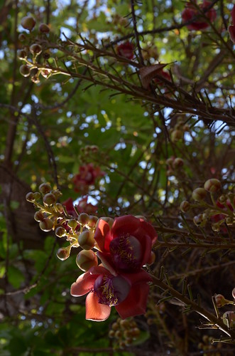 Shorea Robusta flowers ©  Still ePsiLoN