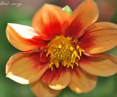 DSC_1532 (Abel + 625k) Tags: flowers naturaleza flores nature fleurs fiori