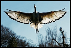 wingspan ... (John FotoHouse) Tags: bird nature yorkshire flight leeds ibis 2012 dolan lothertonhall johnfotohouse