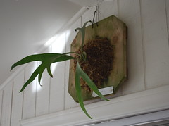 Staghorn (krakencrafts) Tags: fern barn shed staghorn mancave rainforestflora platyceriums antleralternative