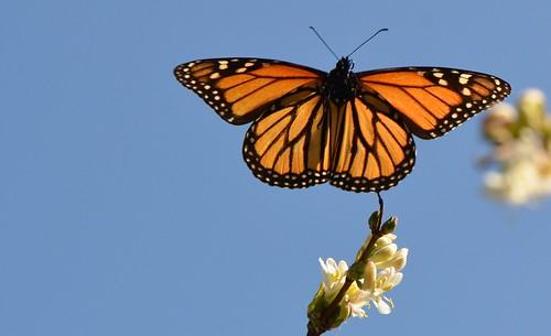 Monarch butterflies flying away - photo#3