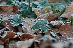 First Frost 1/52 (ClaudiaJR) Tags: wood brown green nature leaves frost forrest