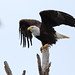 Bald Eagle spreading wings 20120116