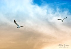 Seagulls Flying Around the Ferry ~ Explored ~ (Ellen Yeates) Tags: cruise blue sunset sky cloud galveston beach yellow ferry port canon bay ellen fly texas seagull bolivar explore around hdr flew yeates explored mygearandme