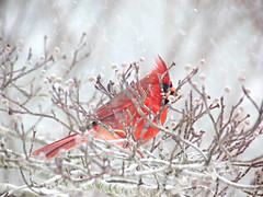 red bird, red bird -- in Explore! (Chickens in the Trees (vns2009)) Tags: snow tree cardinal bokeh branches dogwood northern cardinaliscardinalis bokehlicious