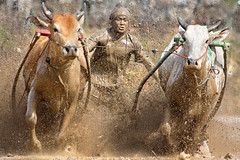 Cow Race ~ Covered (Impian) Tags: indonesia culture tradition padang sumatrabarat westsumatra batusangkar cowrace pacujawi
