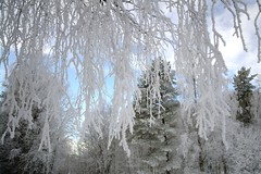 Snow Covered Branches (Ahsan Riaz Chaudhary) Tags: snow oslo norway winters riaz ahsan snowinoslo ringexcellence oslowinters