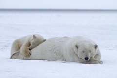 """Eisbären, Arctic National Wildlife Refuge, Alaska (7) • <a style=""""font-size:0.8em;"""" href=""""http://www.flickr.com/photos/73418017@N07/6730319409/"""" target=""""_blank"""">View on Flickr</a>"""