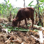 "Cow Eating Banana Leaves <a style=""margin-left:10px; font-size:0.8em;"" href=""http://www.flickr.com/photos/14315427@N00/6741837199/"" target=""_blank"">@flickr</a>"