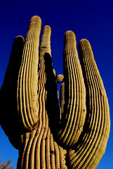Saguaro In The Sky (desertwatercolors) Tags: