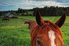 Finland - Horses 1 (I.S.S) Tags: summer horses horse closeup barn finland etelkarjala southkarelia ginordicjan12