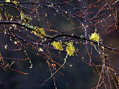 Winter Colours. (eric robb niven) Tags: bridge winter tree scotland birch lichens rumbling dunkled