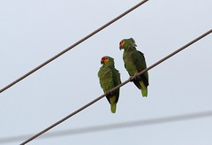 Red lored parrots (ricmcarthur) Tags: bird nature texas whooooo redlored redloredparrot lifebird