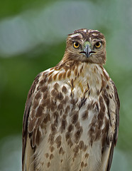 What? (Canter Photography) Tags: bird nature nikon wildlife raptor redtailedhawk buteojamaicensis 600mmf4 14teleconverter birdperfect nikond3s