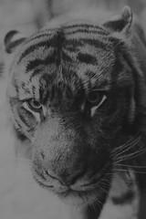 Khunde  - I Look At You... You Look At Me... (Harimau Kayu (AKA Sumatra-Tiger)) Tags: animal cat asian zoo tokyo spain ueno tiger tijger tigris tigre bigcats sumatran fuengirola  raindropskeepfallingonmyhead predetor uenozoologicalgardens sumatratiger tygr tiikeri  pantheratigrissumatrae sumatraansetijger asiancat tigredesumatra khunde  sumatrantiikeri harimausumatera sumatrakaplan tygrsumatersk ringexcellence tygryssumatrzaski  szumtraitigris       hsumatra