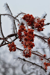 Touched by Frost (Sue Moen Photos) Tags: trees winter red frost crystals sparkle