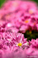 Pink World /  (AmpamukA) Tags: world travel pink plant flower mai thai chiang 2012       ampamuka  rachapreuk