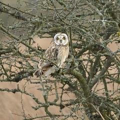 Short-eared owl (Asio flammeus) (Hazza D) Tags: carr short owl prestwick newcastleupontyne eared