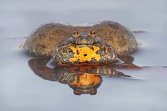 Fire-bellied Toad (Horst Beutler) Tags: pentax wildlife amphibian toad calling k5 unke rotbauchunke amphibien firebelliedtoad bombinabombina pentaxart copyrighthorstbeutlerphotography