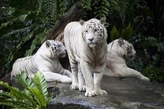 IMG_2621 (Marc Aurel) Tags: zoo singapore tiger tigre singapur whitetiger zoologischergarten singaporezoo weddingtrip hochzeitsreise bengaltiger pantheratigris zoologicalgarden königstiger pantheratigristigris royalbengaltiger pantheratigrisbengalensis weisertiger 5dmarkii eos5dmarkii indischertiger tigrebiancha